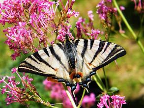 Photo: Le Flambé - un spécimen remarquable : 9 cm d'envergure (mesuré) sur centranthe rouge. Les taches sur les ailes sont des reflets parasites de la plante.Du moins je crois...