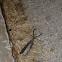 Eastern Dobsonfly