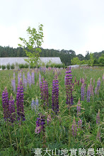 Photo: 拍攝地點: 梅峰-一平臺 拍攝植物: 羽扇豆(魯冰花) 拍攝日期:2012_05_09_FY