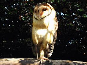 Photo: AUSTRALIE-Effraie des clochers au Featherdale Wildlife Park