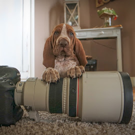 Luigi loves Canon and Canon loves Luigi by Ruud Lauritsen - Animals - Dogs Puppies ( braccoitaliano, bracco italiano, bracco italiano pup )