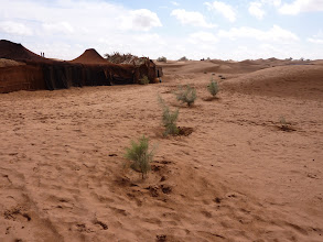 Photo: The survivng tamarisk grafts planted in Groasis Waterboxx's in November 2010! These young trees had managed to escape the wrath of the walking sand dunes!