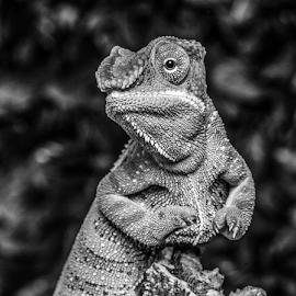 Chameleon by Garry Chisholm - Black & White Animals ( macro, chameleon, nature, garry, reptile, lizard )