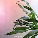 Tailed Jay