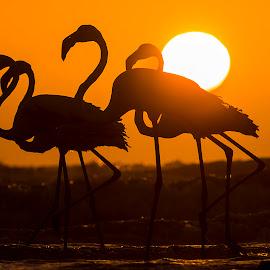 A perfect Sundown by Hitesh Parmar - Animals Birds ( bird, nikonasia, flamingos, nikond5100, hp_clicks, nikon )