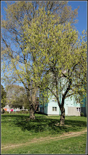 Photo: Artar American ( Acer negundo ) - din Parcul din Mr.1 - 2017.04.01
