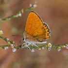 Lesser fiery copper