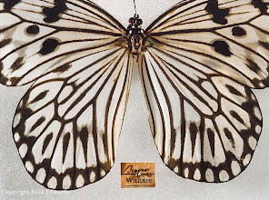 Photo: Rice paper butterfly (Idea idea) collected by Wallace on Buru Island. © Booth Museum, Brighton & Fred Edwards