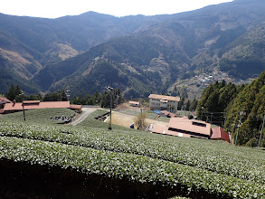 本村集落の茶畑