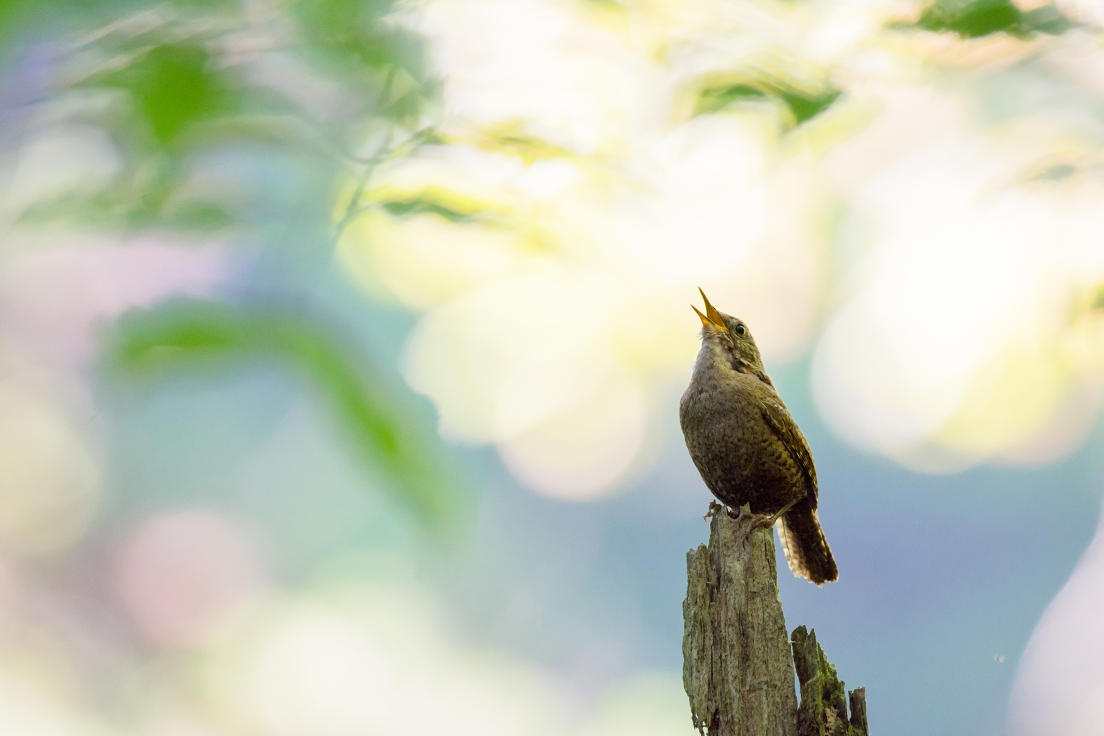 Photo: そこにいること Proof of existence.  水の流れる音 虫たちの鳴く音 渓流に満ちる音 その中で負けずに声をあげる そこにいる 存在を示すために  Eurasian Wren. (ミソサザイ)  #birdphotography #birds #cooljapan #kawaii #nikon #sigma  Nikon D7200 SIGMA 150-600mm F5-6.3 DG OS HSM Contemporary