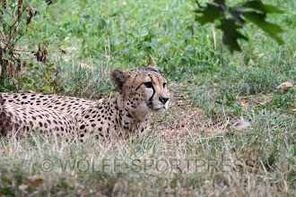 Photo: Gepard