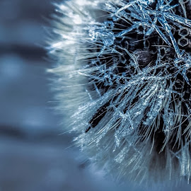 Frosty by Dorothy Day - Nature Up Close Other plants ( plant, macro, nature, blue, frost )