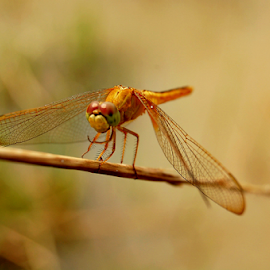 Dragon Fly by Saptak Banerjee - Animals Insects & Spiders ( wild, fly, dof, insect, eye )