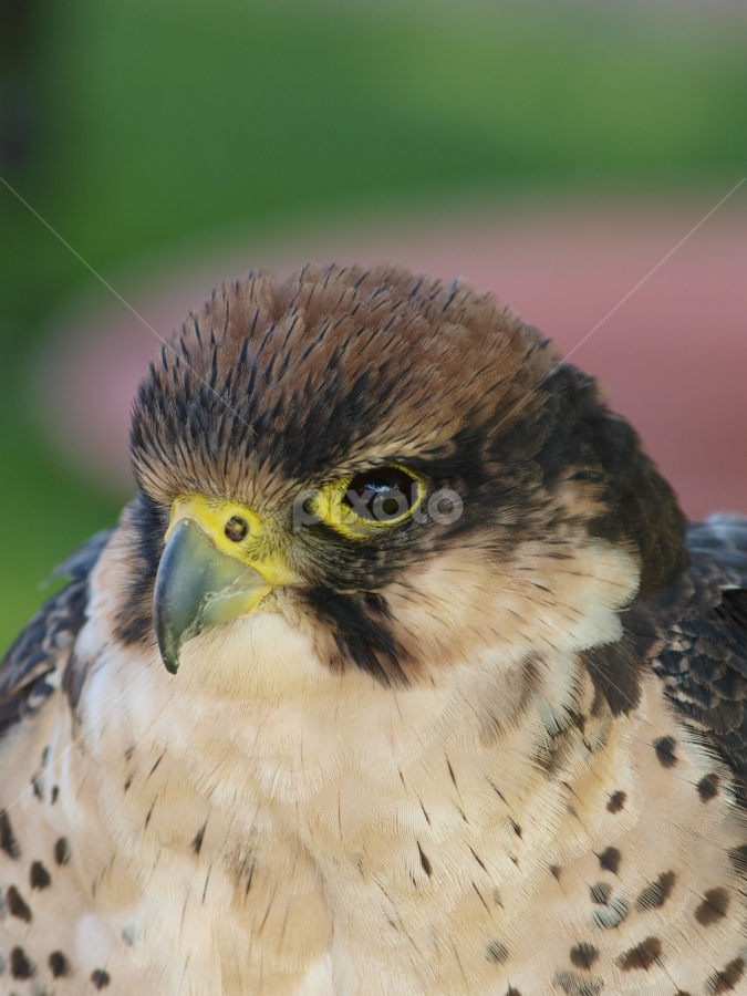 Cute falcon by Garry Chisholm - Animals Birds ( garry chisholm, owl, falcon, raptor, hawk )