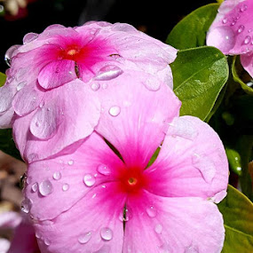 Pink & dew by Carmen Hahn - Nature Up Close Water