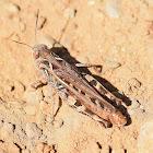Moroccan Locust