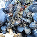 Pacific Blue Mussel
