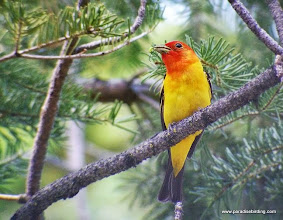 Photo: Adult male Western Tanager carrying food for fledgling(s), Trout Creek Swamp, Sisters, OR