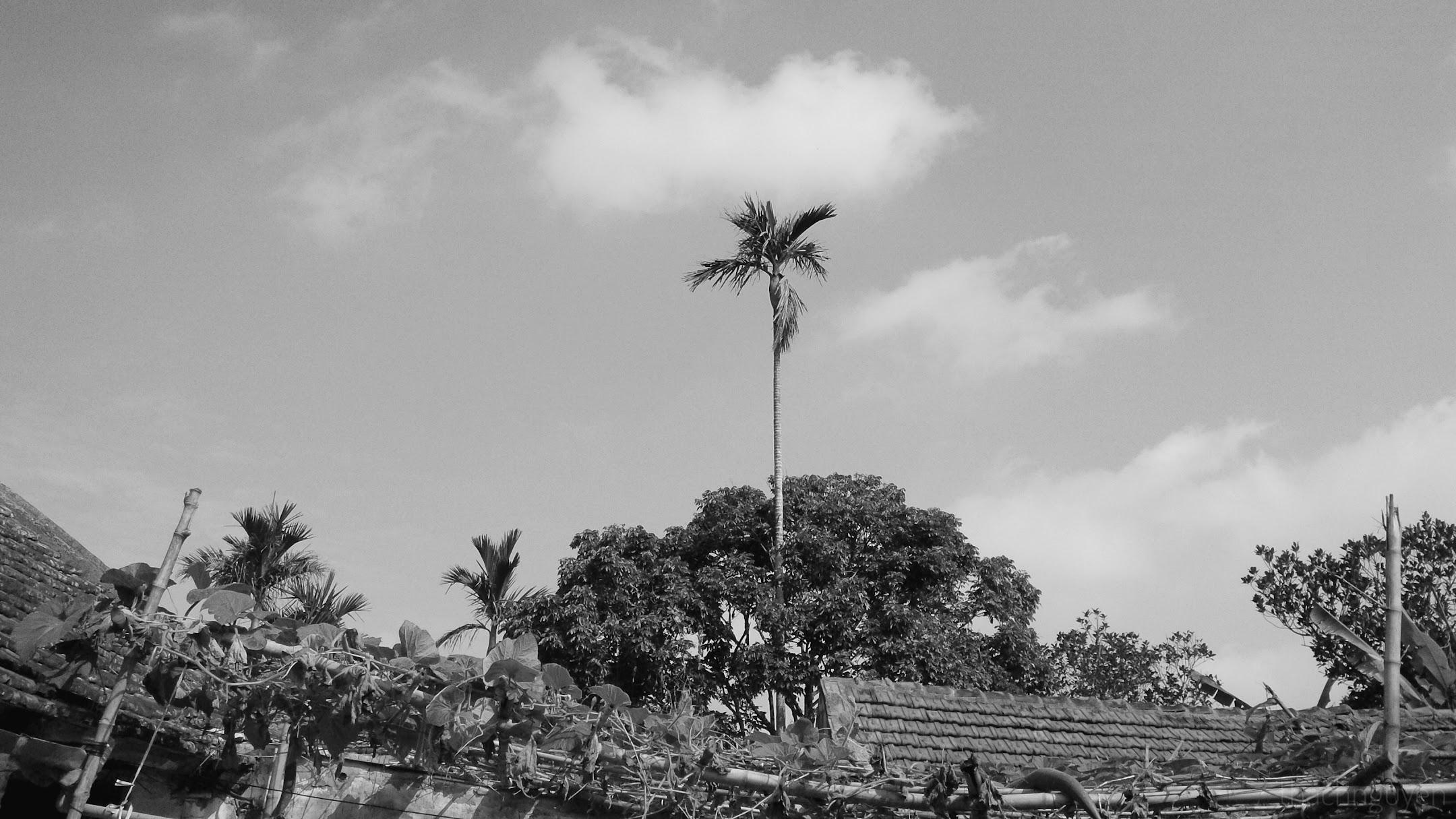cây cau, hiên ngang giữa trời