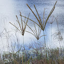 Tall Windmill Grass