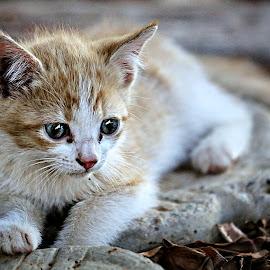 Kit by Pieter J de Villiers - Animals - Cats Kittens