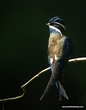 Photo: Whiskered Tree-Swift, Danum Valley
