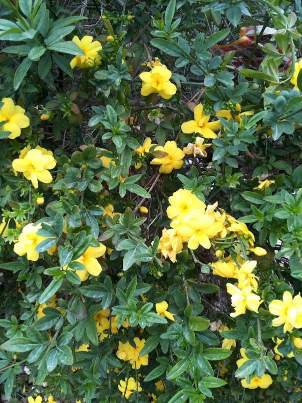 растения израиля в картинках развесного чай
