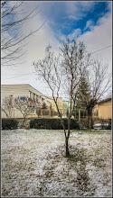 Photo: Liliac  (Syringa vulgaris) - de pe Calea Victoriei, B16 - 2017.02.10