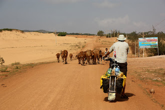 Photo: Year 2 Day 21  -  Herd of Cows on the Dirt Track