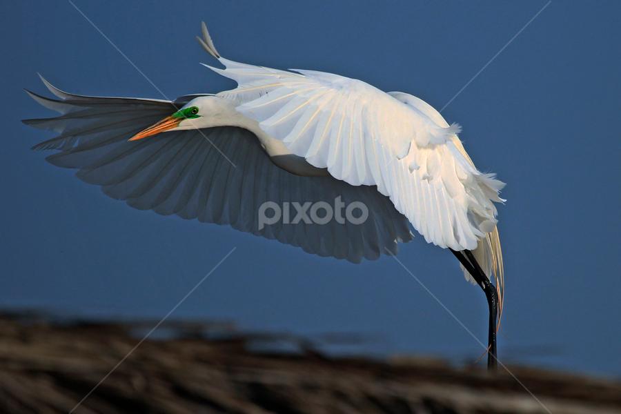 Great Egret flying by Cristobal Garciaferro Rubio - Animals Birds ( water, flying, white bird, wings, pwcmovinganimals, egret, great egret )