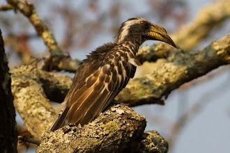 Photo: Pale-billed are the most common hornbills in Luando Os Calaus-de-bico-pálido são os calaus mais comuns no Luando
