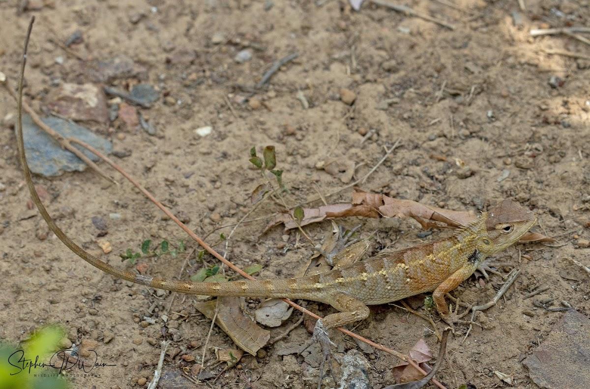 Oriental garden lizard