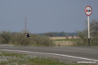 Photo: Why did the black tern cross the road?