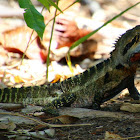 Eastern Water Dragon (MALE)