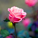 Rose HD Wallpaper icon