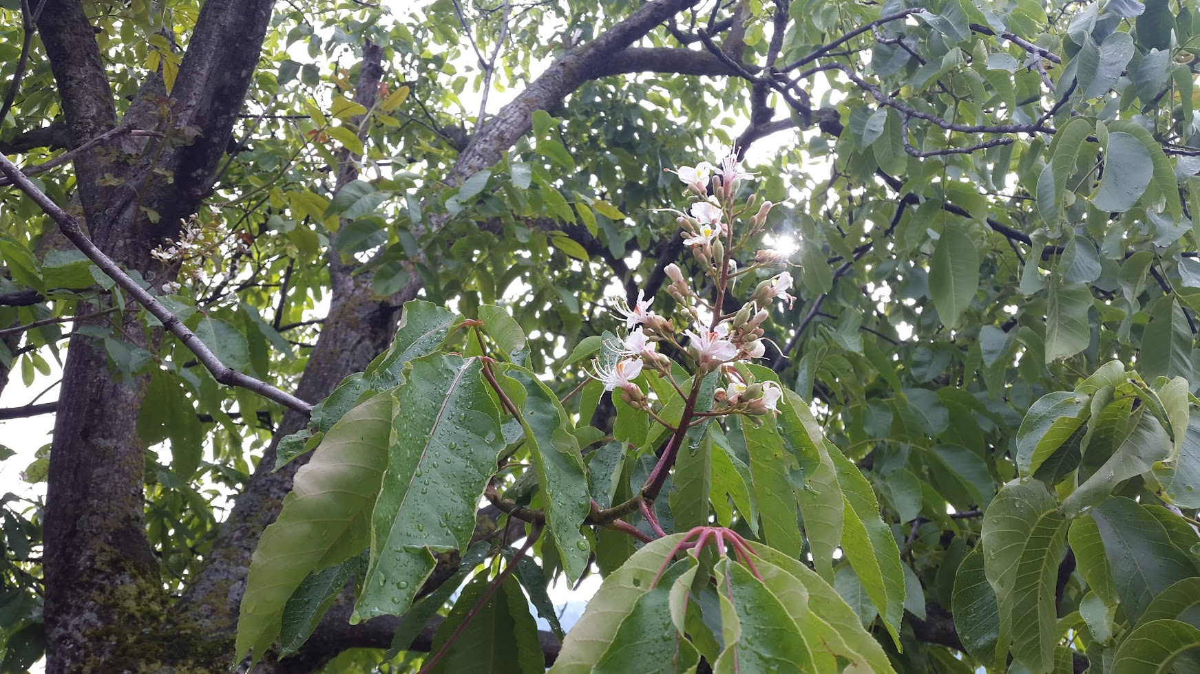 Walnut blossoms