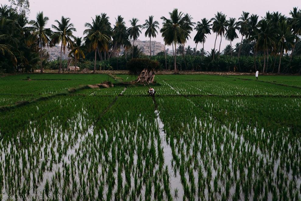 Рисовые поля, Хампи