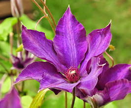 Photo: Clematis 'Guiding Star'