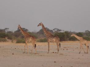 Photo: Giraffe fam!