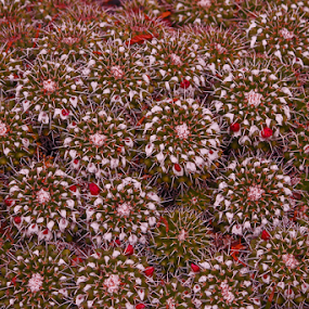 Cluster Cactus by Lauren Manzano - Nature Up Close Other plants