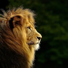 The King  by Elke Krone - Animals Lions, Tigers & Big Cats ( mähne, schwarz, löwe, raubkatze, braun, seitenportrait, ein, tierportrait )