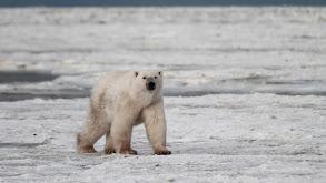 Polar Bear Invasion thumbnail