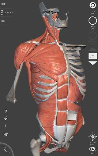 筋肉系 - 解剖学3Dアトラス - 人体の骨格と筋肉