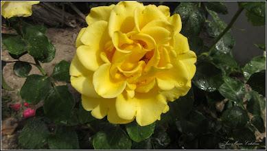 Photo: Trandafir (Rosa)  din Turda, Str. Salinelor, Nr.15 - 2019.06.19