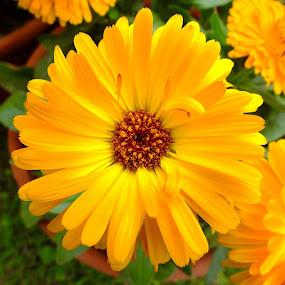 Yellow Daisy Flower by Chirag Gupta - Flowers Flower Gardens ( camomile, daisy, yellow, garden, flower,  )