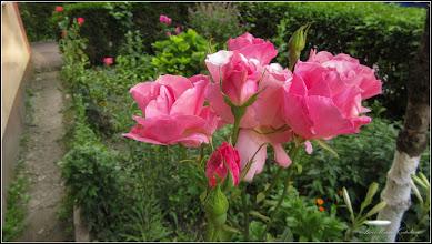 Photo: Trandafir (Rosa)  - din Turda, Calea Victoriei, Bloc B 15 - 2019.06.09