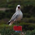 Gaviota de Audouin (Audouin's gull)