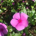 Pink Periwinkle (pervenche de Madagascar)