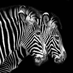 Grevy's Zebra by Andy Smith - Animals Other Mammals ( two, pair, safari, zebra, mammal,  )