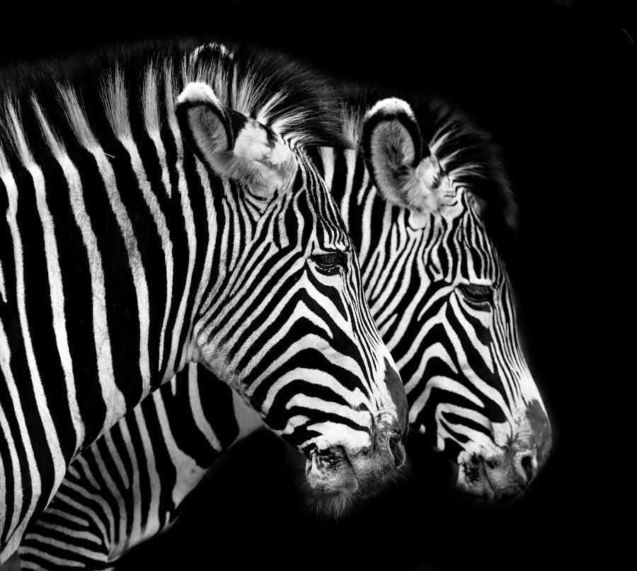 Grevy's Zebra by Andy Smith - Animals Other Mammals ( two, pair, safari, zebra, mammal,  )